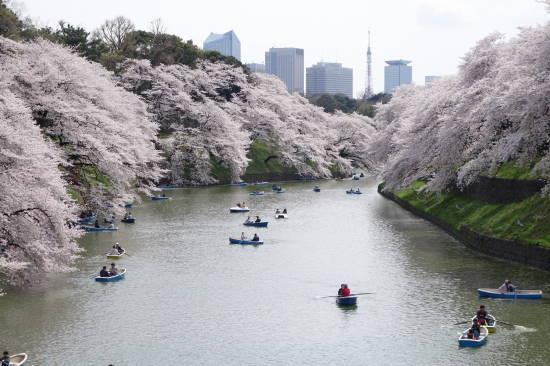 0402桜 (4).JPG